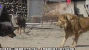 中国藏獒PK非洲掏肛王鬣狗,结果究竟是怎么样的呢?