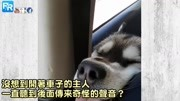 """狗狗搞笑→哈士奇""""硬把脸塞进副驾驶座""""吹冷气!一脸狗生无憾:凉凉的好棒!"""