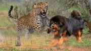 貓科動物戰斗力排名,華南虎僅排第五,花豹墊底,第一無可爭議