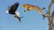 动物大主宰,螺角山羊,雪豹捕猎失败了