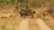 动物世界,猫鼬和蛇之战, 结局出乎意料的!