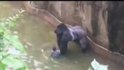 5岁男孩不小心掉进猩猩窝!大猩猩举动令人感动