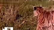 把野生老虎放到非洲草原會怎么樣?會被獅子鬣狗群團滅嗎?