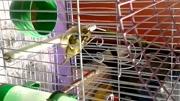 柳鶯鳥出籠開心大叫,好聽,舒服,極品中的極品!