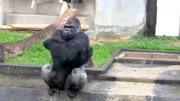 实拍银背大猩猩打架画面