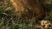 双腿残疾的小狮子,走?#20998;?#33021;靠爬行,然而狮子妈妈并未放弃它