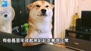 """狗狗搞笑;半夜感觉到一股""""炙热眼光""""...转头一看柴犬""""露出谜之微笑""""网笑翻:老"""