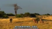 平頭哥蜜獾殺死一只巨蜥,這真的是有點牛了