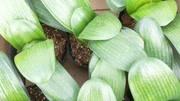 盆栽君子蘭爛根不用怕, 園藝師教您一招, 把爛根的君子蘭救活方法