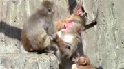 黑猩猩打群架殺死入侵者 并將同類殘忍分食