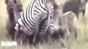 多少頭鬣狗能殺死一只老虎?三頭鬣狗能殺死一只獅子?