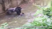 国外母亲沉迷于玩手机,孩子掉进猩猩园,最终导致猩猩被击毙!