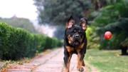 世界公認危險度最高的5大猛犬,男人們都喜歡,不建議當做寵物
