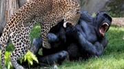 動物世界:雄獅從鬣狗群中拯救母獅,最終卻是鬣狗與野狗的搏斗