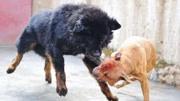 高加索犬,就连藏獒都不是它的对手,多地禁止饲养