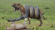 動物世界!科莫多巨蜥殺傷力有多強?被咬一口,現在醫學能救嗎?