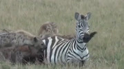 黑背胡狼獵殺落單的蜜獾幼崽,網友表示:不怕攤上事呀?