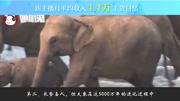 胆小勿看!大象生孩子全过程