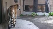 老虎吃干草,动物园生活好悠哉,无忧无虑的瞎玩