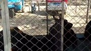 逛农村狗市,黑狼犬要价800元,这价格值?