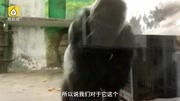 《動物世界》老馬為了加入族群,拼死打敗年輕首領