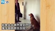 狗狗搞笑;主人出门上班,金金却紧紧跟随到门口!下一秒的举动让人超感动!