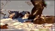 動物世界:狐貍與獾生存搏斗,結局竟是這樣!