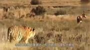 面對森林之王老虎,黑狗熊看見了倉皇而逃,鬣狗看見了也毫不例外