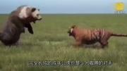 狼群為護崽圍攻黑熊 20多頭狼大戰一頭棕熊 大戰一觸即發!