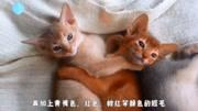 传说中古埃及神猫的后裔,受万民爱戴,风度翩翩的阿比西尼亚猫