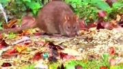 老鼠過街人人喊打,這些老鼠可不是這樣的哦?冒著生命保護人類