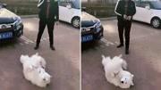 主人躺地上裝死,狗狗的反應卻讓主人欲哭無淚