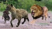 獅子爸爸教訓調皮的獅子寶寶。