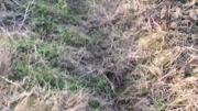 比格犬修煉記,灌木叢中抓野兔,這叫聲很悅耳