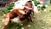 狼袭击羊群, 被藏獒撕咬, 秒杀