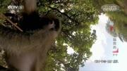 動物視頻:雄獅帶著它的小獅子們無憂無慮的玩耍,萌化我的心