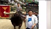 """富豪102万买一头牛,牛名霸气叫""""擎天柱"""",是中国最凶悍的斗牛"""