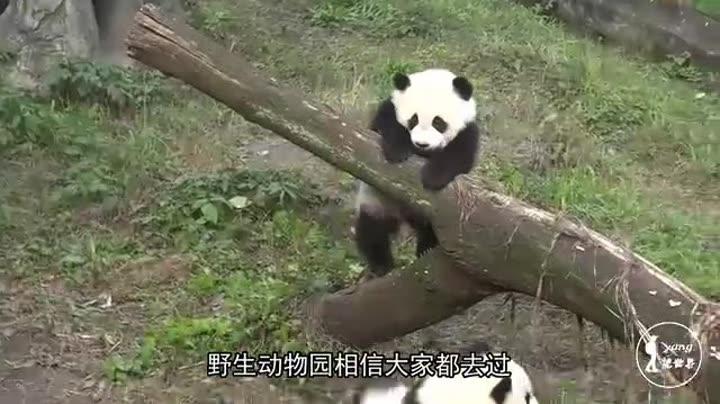 壁纸 大熊猫 动物 720_405