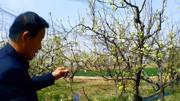 枣树栽培技术  夏季修剪 视频