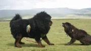 20只比特20只藏獒20只高加索犬,大战一头成年野生老虎会怎样?