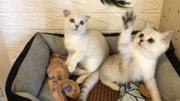 (健康家養)2個月海豹重點色暹羅小貓找新家!