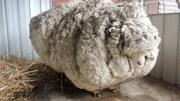 山羊綿羊一對對,5117