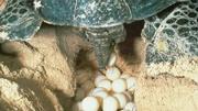 山里的烏龜下蛋全過程,有多少人見過!