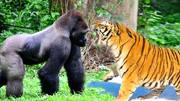 繁殖的季节,银背大猩猩和母猩猩正在行动