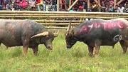 貴州斗牛:幾個兄弟一起花五萬塊錢買牛王,你看這一戰值不值嗎