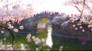 Admire cherry blossoms in Wuxi