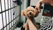 """泰迪大圆头""""急速""""修剪视频,宠物美容教程,狗狗修剪视频,宠物美容"""
