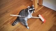 看起来很萌的动物,会主动拿起笤帚扫地?其实它另有目的!